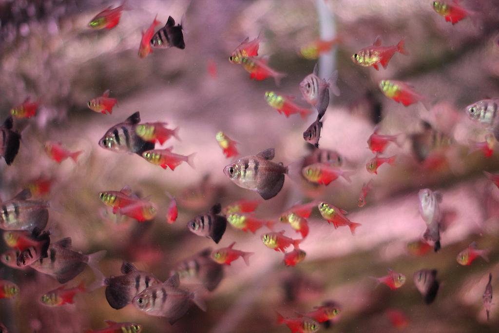 Tetrovité rybky se drží v hejnu