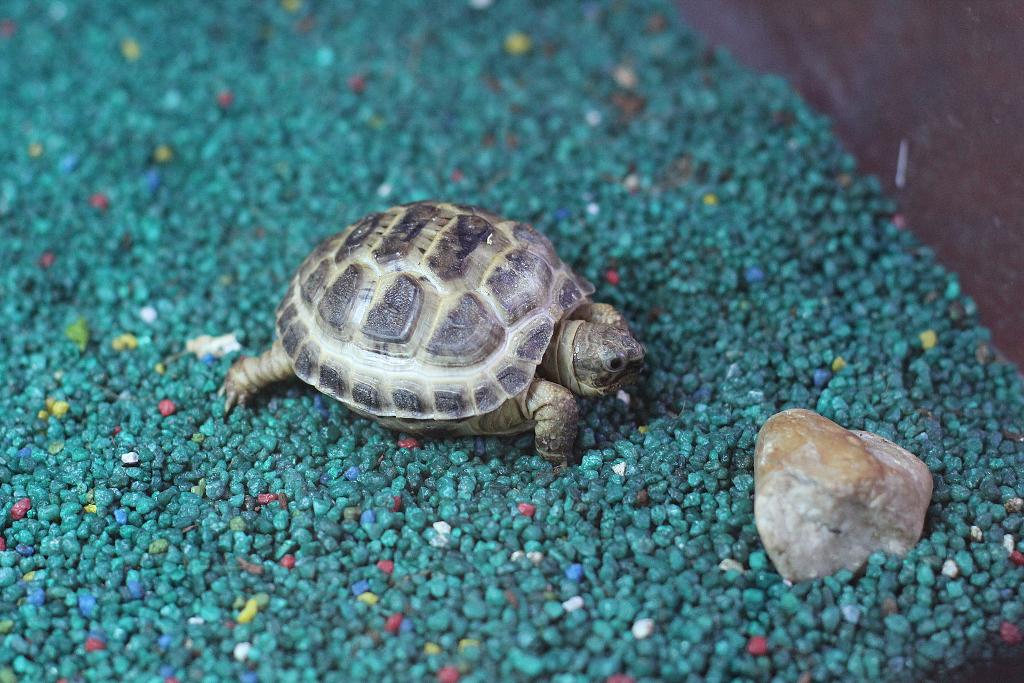 Mládě želvy stepní